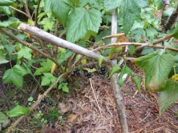 blackcurrants 2 july 2019.jpg