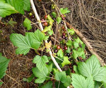 blackcurrants-june-2019.jpg