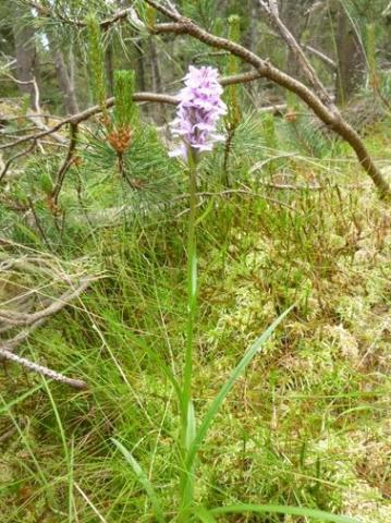 heath spotted orchid.jpg
